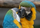 Macaws, noisy and hilarious, but maybe not ideal house pets