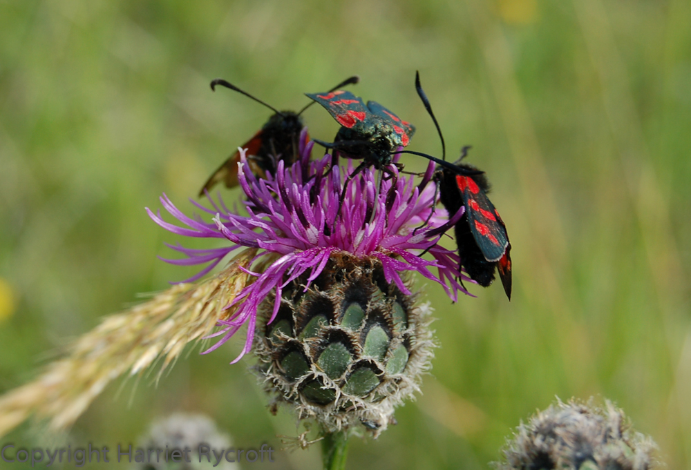 Burnet moth on knapweed/Zygaena filipendulae on Centaurea nigra