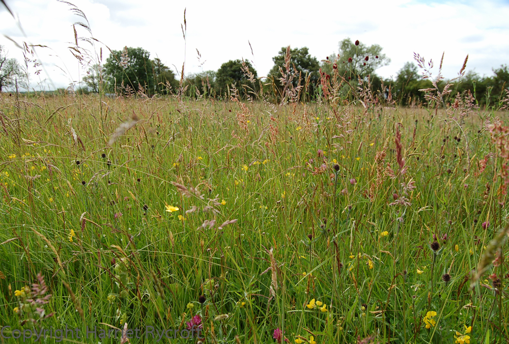 Ancient meadow in Gloucestershire