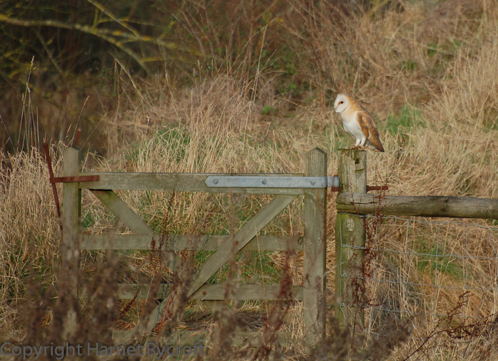 Shreds of habitat - too many are being tidied away. Barn owls like tussocky grass because voles do too.