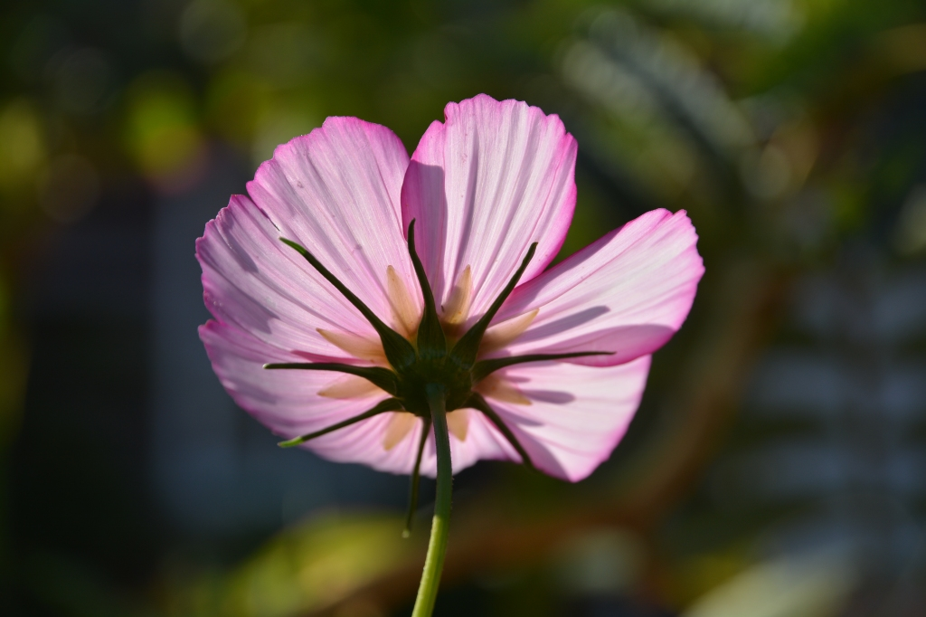 Cosmos 'Sweet Sixteen' Sow Cosmos and you'll hardly have time to make a cup of tea before they germinate.