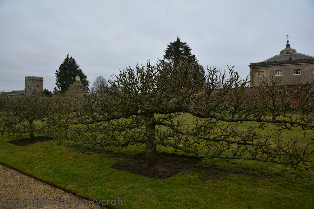 Espalier apples, keeping generations of garden visitors on the straight and narrow