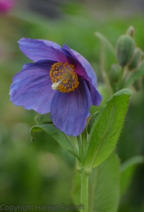 Meconopsis 'Barney's Blue' on the Harperley Hall stand