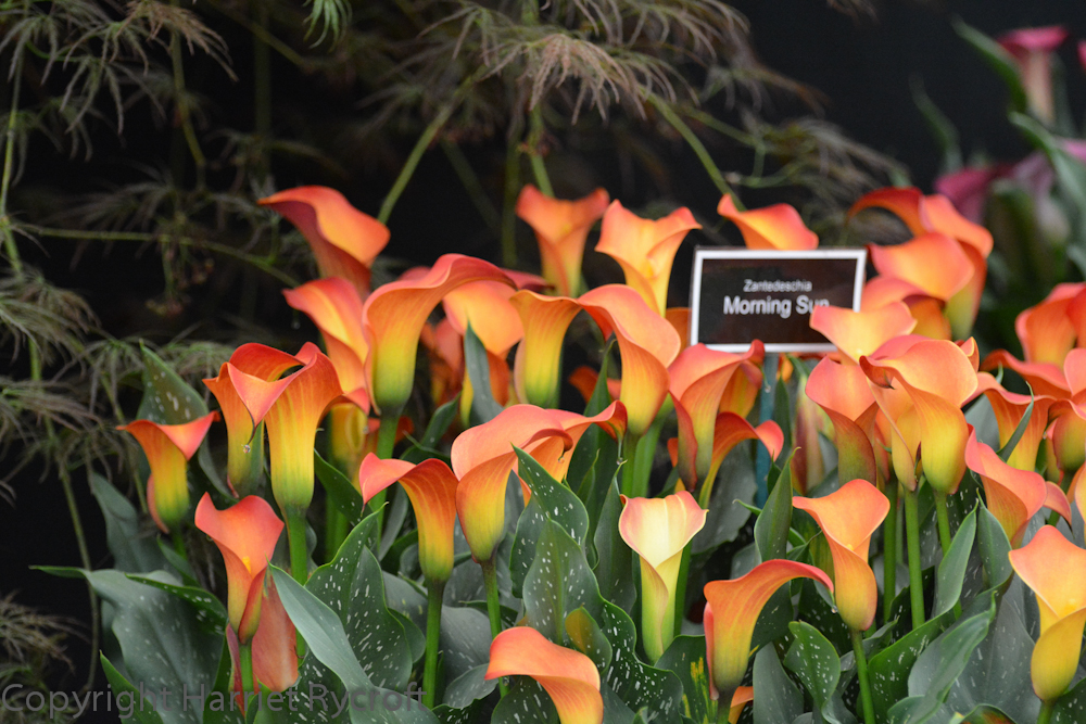 Zantedeschia on the Brighter Blooms stand