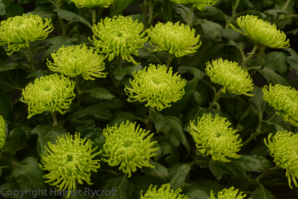 A chrysanth for The Hulk from Chrysanthemums Direct