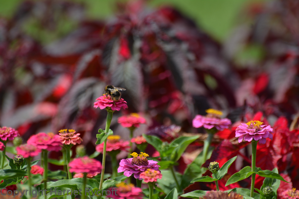 Zinnia 'Cupid Mixed', with Amaranthus 'Molten Fire' in the background
