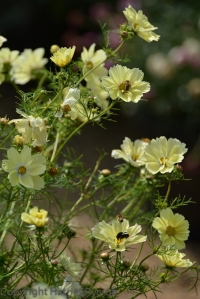 Cosmos 'Xanthos' with assorted bees