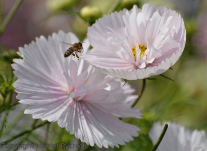 Cosmos 'Cupcakes'. The bees like this one too.