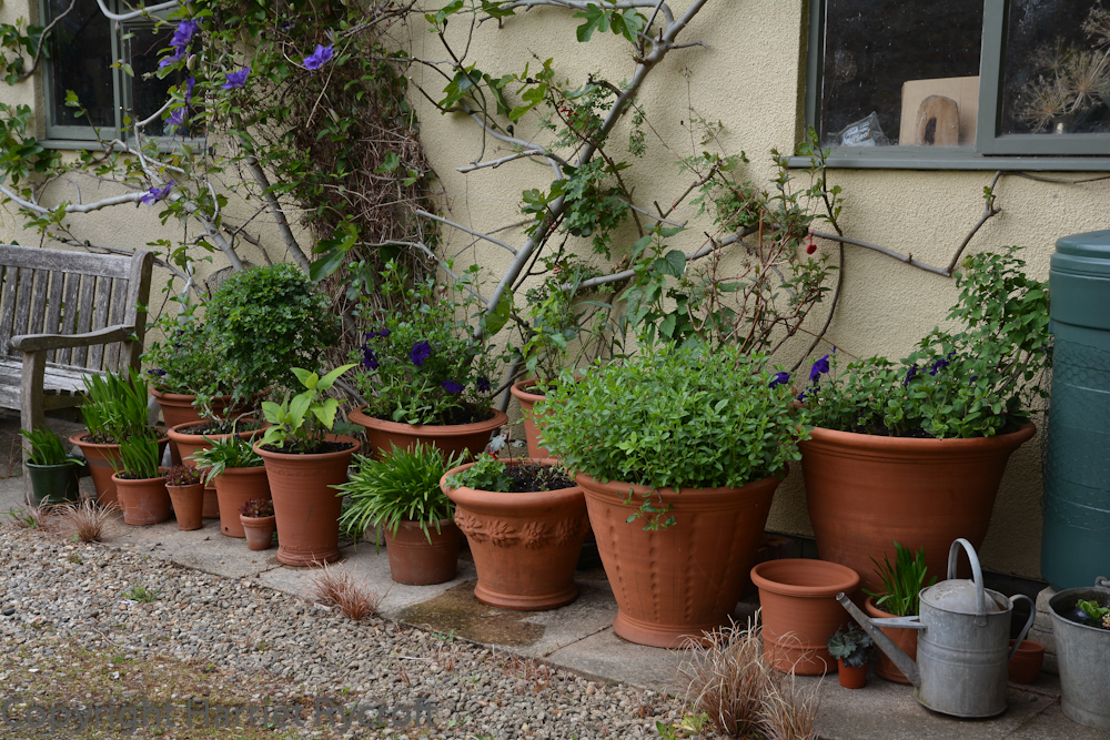 Tide begins to turn. The big pots by the garage were wrapped for the winter to protect the salvias, dahlias, fuchsia and eucomis. I've added fresh compost and fertiliser plus a few bedding plants. I've started putting out Agapanthus and succulents. The fig, clematis and hawthor lollipop are growing in the ground.