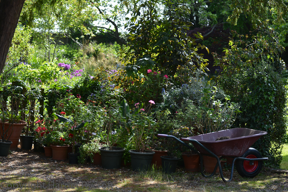 Under the yew tree - another useful space for more hardening off and potting on.