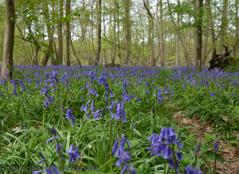 Another good thing about beech woods: bluebells! I spent a lovely day wandering around the grounds of NT The Vyne with my oldest friend. Luckily she likes taking photos of flowers too, so we were able to take our time.