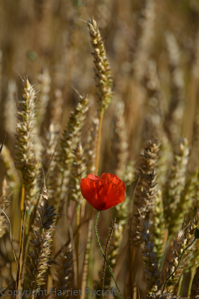 It's a classic combination but hard to beat as a symbol of high summer. This poppy was glowing in a Cotswolds wheat field back in late July.