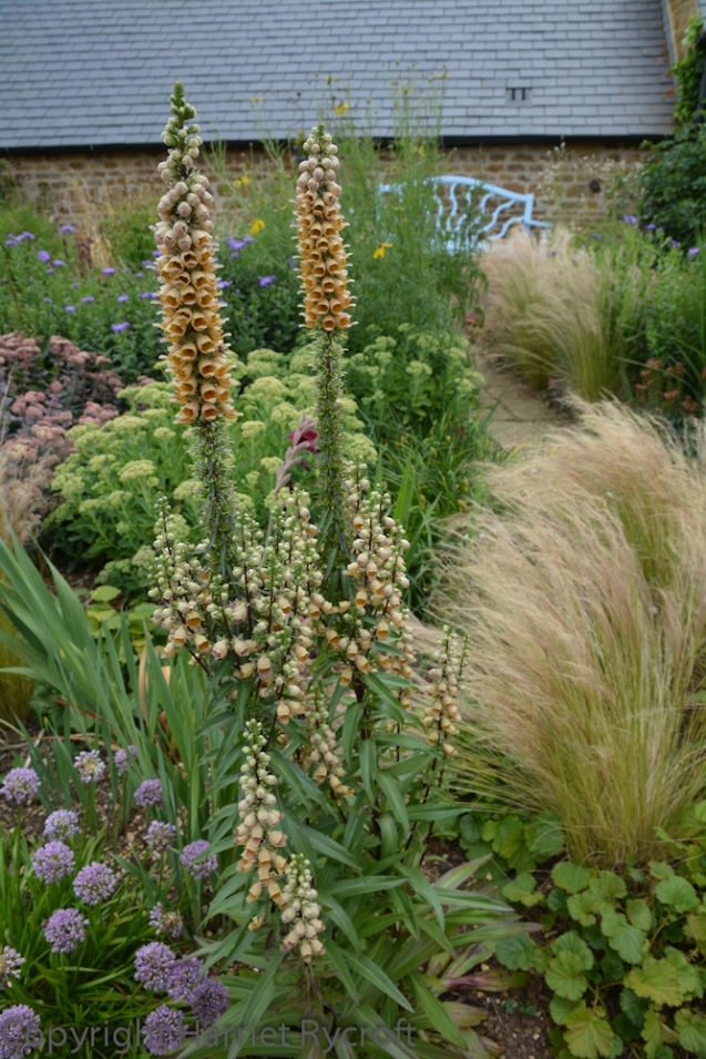 In the summer I was lucky to get a tour of Pettifers, a beautiful garden in Oxfordshire, from the gardener, Polly. Lots of interesting planting to be found here, masterminded by owner, Gina Price. It'll be the subject of a future blog post...