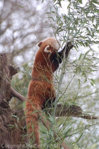 Red panda having bamboo for breakfast
