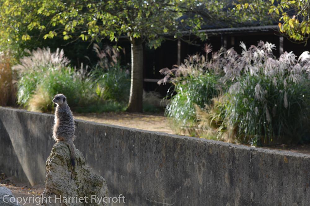 Meerkat matching Miscanthus