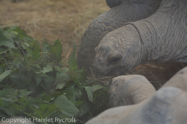 Aldabra giant tortoises tucking in to som lovely nettles. They need a varied diet.