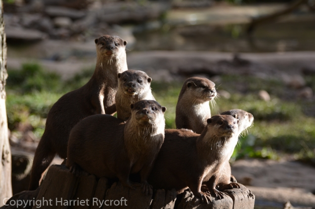 Is it time for lunch yet? Oriental small-clawed otters