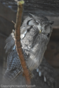White faced owl, off guard duty for now.