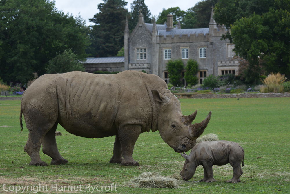 John (1 week old) with his dad, Monty. White rhinos are definitely the best animal to have with a Gothick- house.