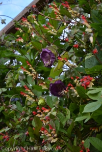 Ipomoea tricolor and Cobaea scandens growing up the side of one of the aviaries