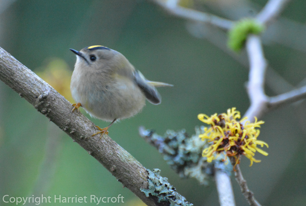 Goldcrest co-ordinating with Hamamelis mollis 'Boskoop'