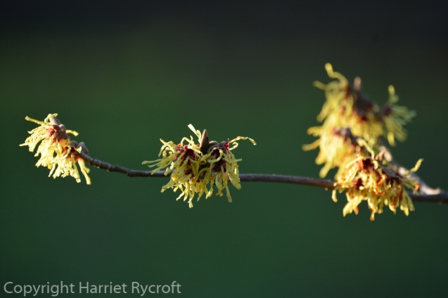 Hamamelis x intermedia 'Moonlight'
