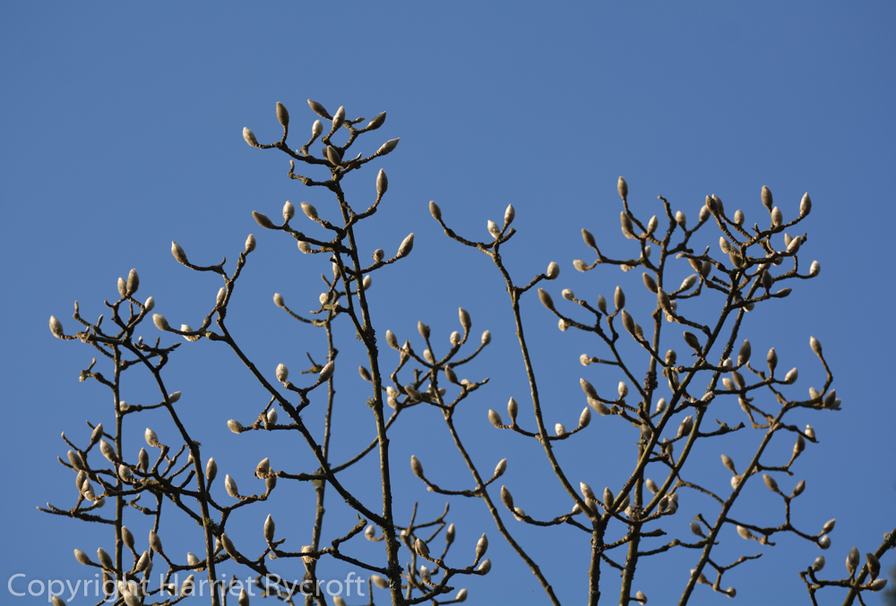 Blue and silver. Frosty magnolia buds.