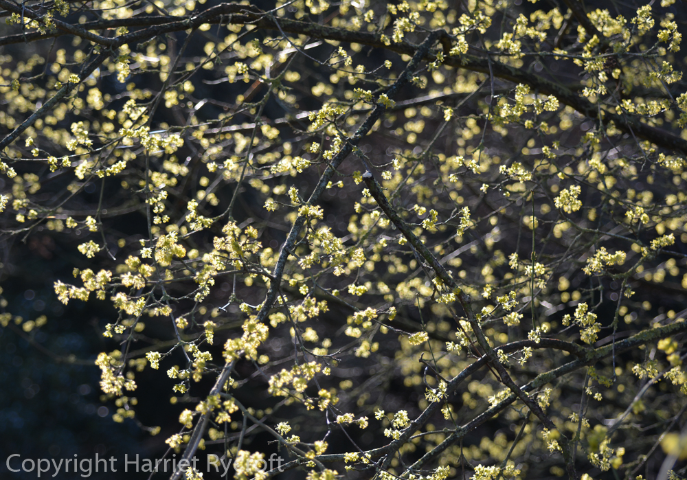Starry, starry day - Cornus officinalis