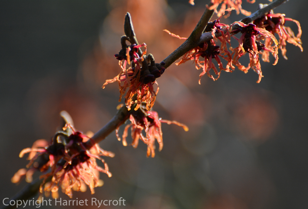 Fire magic - Hamamelis x intermedia 'Feuerzauber'