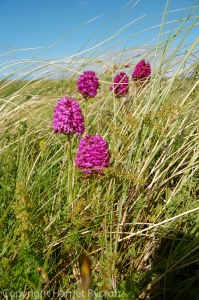 Anacamptis pyramidalis, the pyramidal orchid, is often found in dune slacks