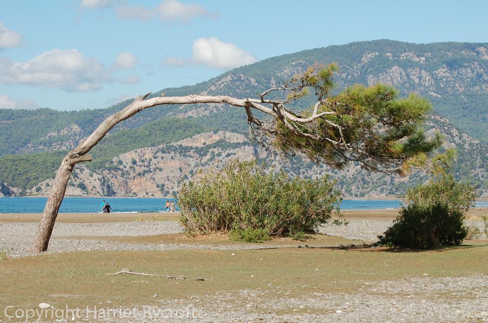 Wind-bent pine at Iztuzu beach, Turkey