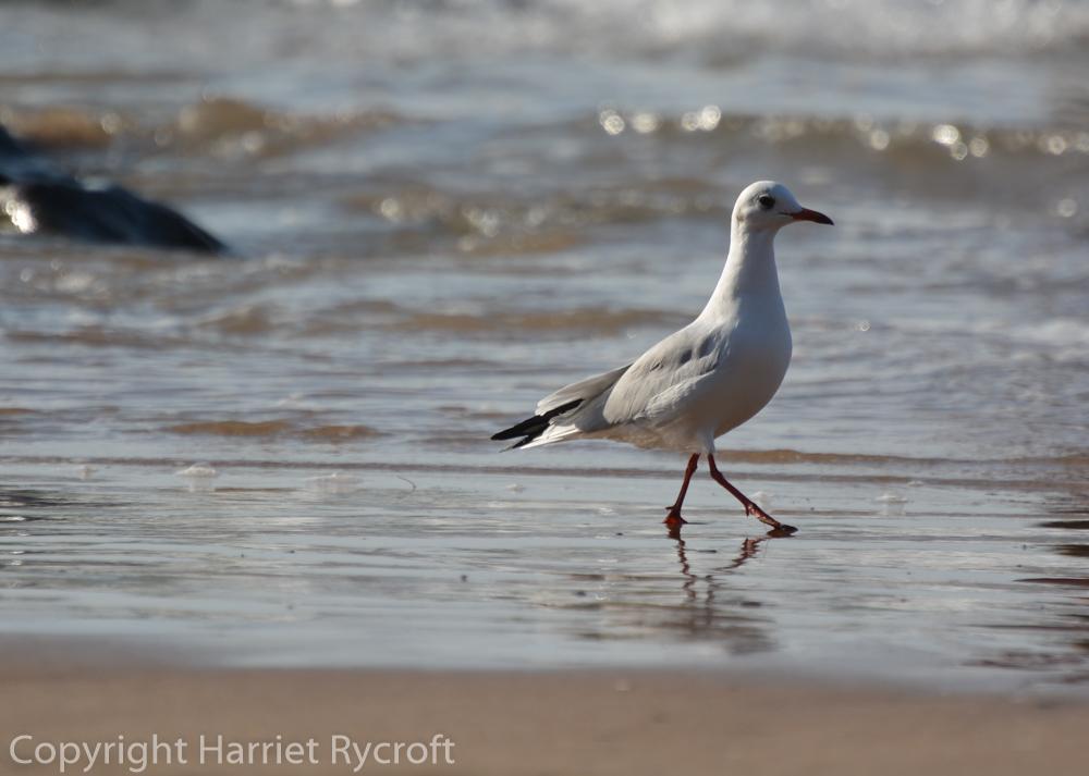 Black-headed seagull patrols the incoming tide