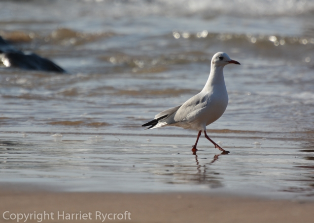 Black-headed seagull patrols the incoming tide