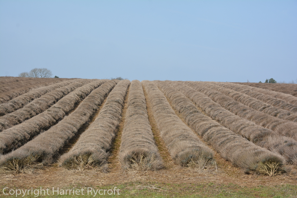 Corduroy-like winter fields at Snowshill Lavender