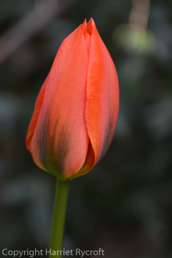 Friday Flora – Tulipa 'Orange Emperor'