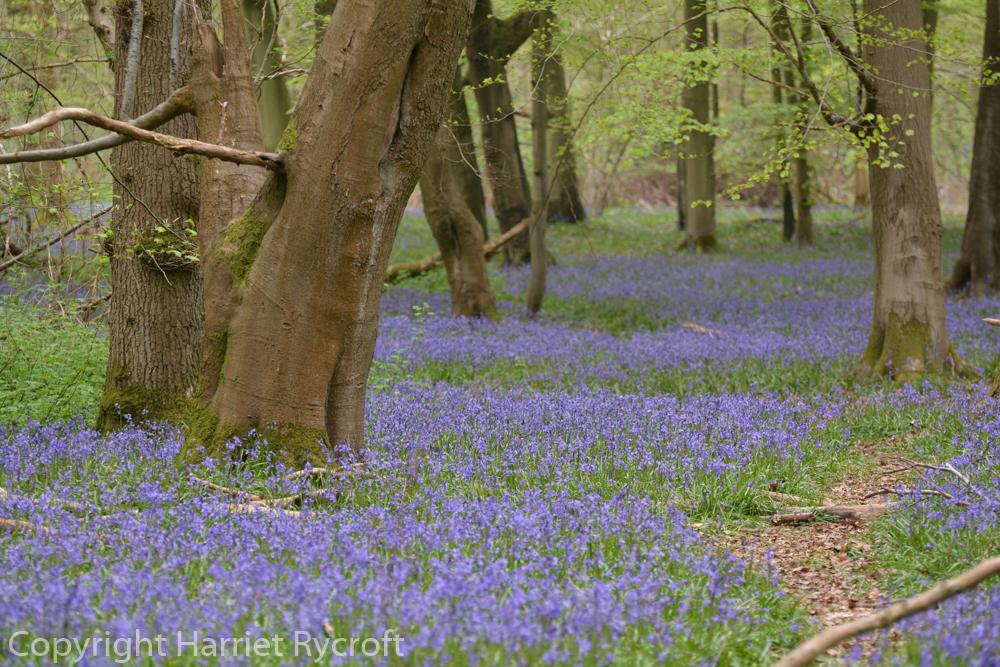 Friday Flora – Hyacinthoidesnon-scripta