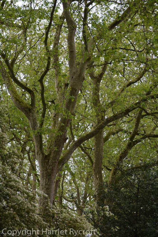 Friday Flora – Platanus x acerifolia, the Londonplane