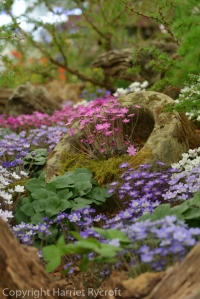 Hepatica display by Ashwood Nurseries at Chelsea Flower Show
