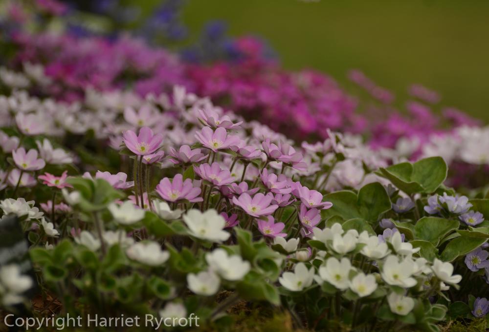 Friday Flora –Hepatica