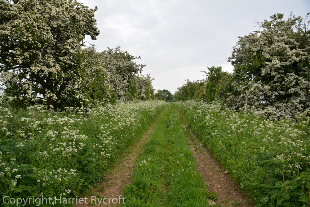 Friday Flora – Cow Parsley and Salt
