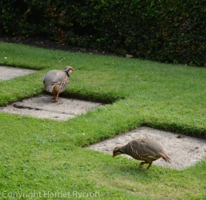 Partridges have leaked in to this gardenfrom the fields.