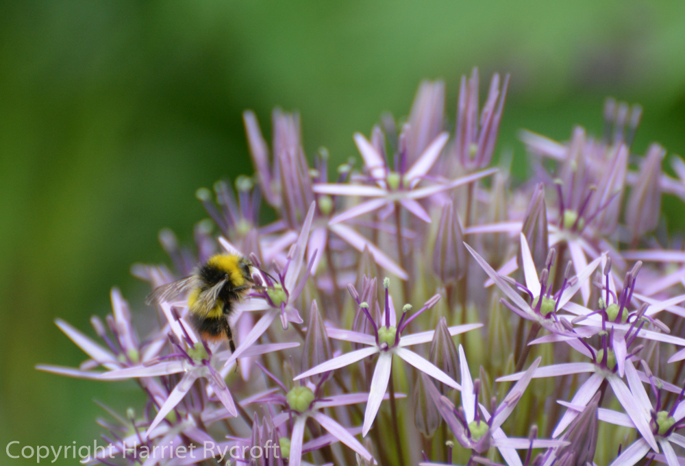 Friday Flora – Allium cristophii