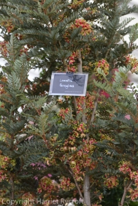 Lomatia ferruginea - clue's in the name! On the Burncoose stand.