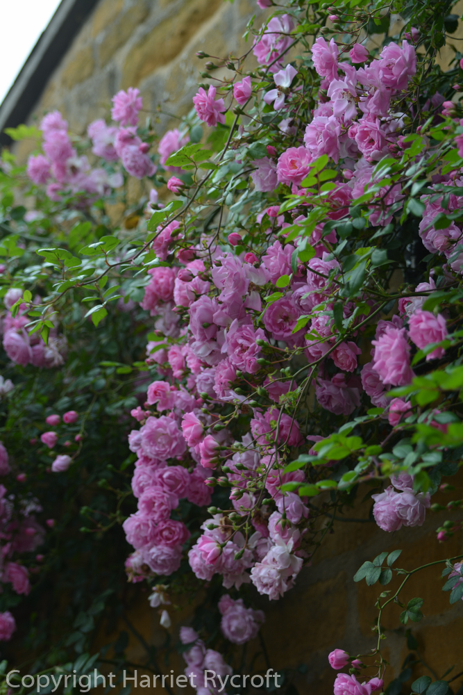 FridayFlora – Rosa 'Débutante'