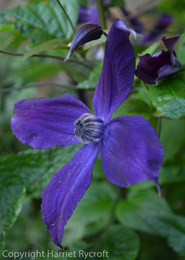 Friday Flora – Clematis 'Polish Spirit'