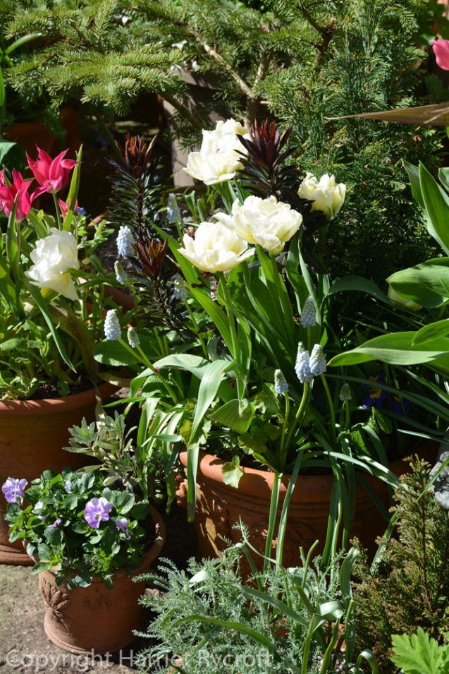 Tulipa 'Global Desire'