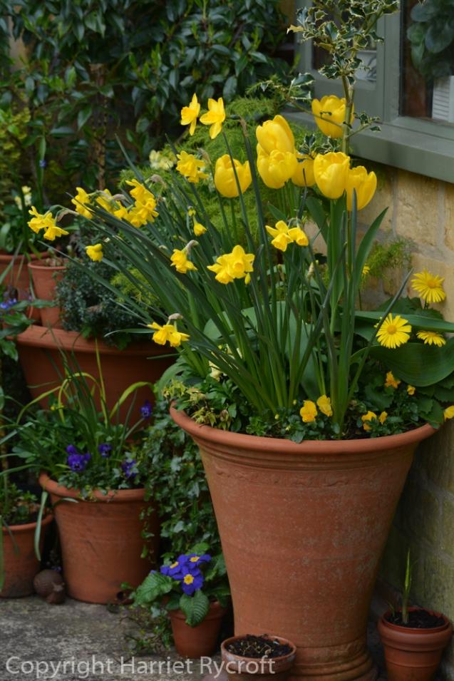 Tulipa 'Fats Domino', Narcissus 'Quail'