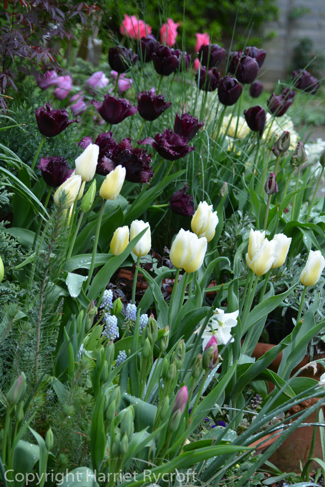 Tulipa 'Coquette' is the white tulip on the right