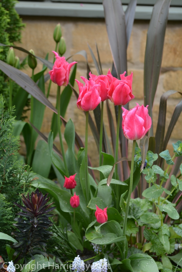Tulipa 'Pretty Love'