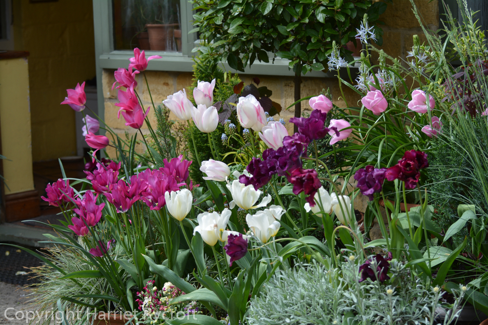 Tulipa 'Pink Diamond' is at the rear right of this picture
